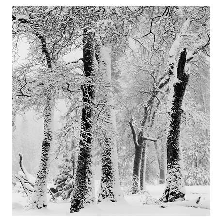 John Sexton - BLACK OAKS, SNOWSTORM, YOSEMITE VALLEY LIMITED EDITION PRINT (framed)